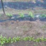 家庭菜園   ほうれん草   エンドウ豆